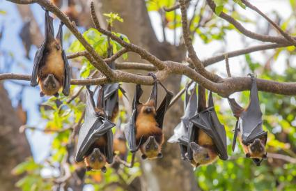 Fruit Bats hanging from a branch of a tree