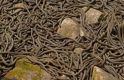 Garter Snakes Mating On Field