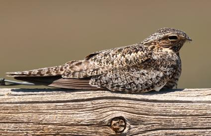 Common Poorwill Bird