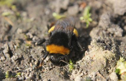 Bumblebee Sitting on the Ground