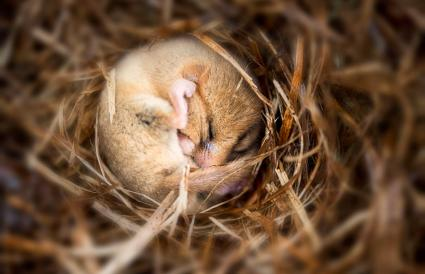 hibernating dormouse on bed of leaves