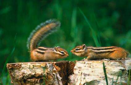 Chipmunks on tree stumps