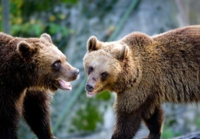 A pair of brown bears in a face off