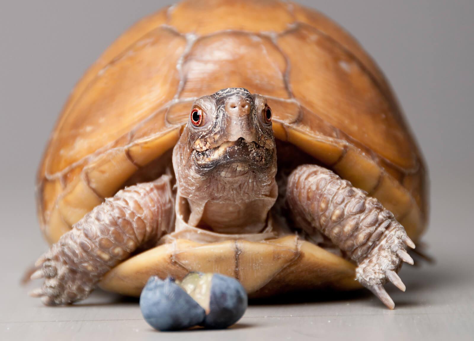 Dieta para alimentar a una tortuga de caja Terrapene