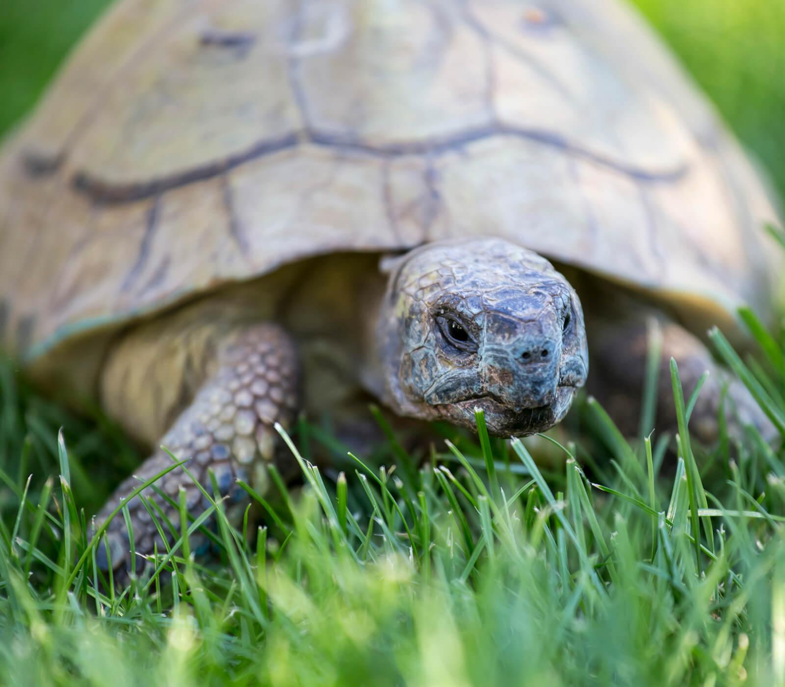 1-tortugas-caja-terrapene.jpg