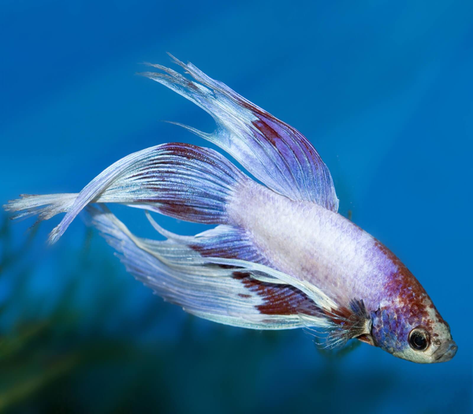 1-imagenes-peces-betta.jpg