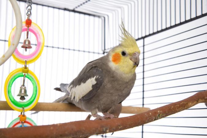 Cockatiel como mascota en una jaula