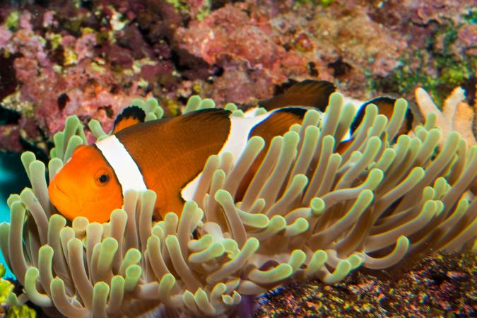 Pez payaso descansando en un coral