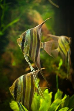 Tres peces angel en un acuario