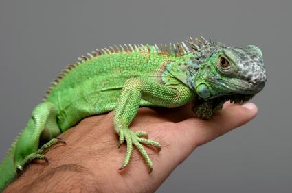 Iguana en la mano del dueño de la mascota