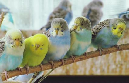 Crías en las colonias de periquitos