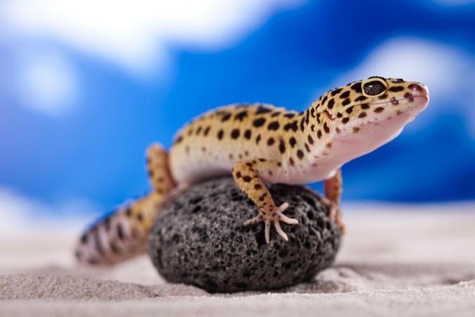 Gecko leopardo sentado en una roca
