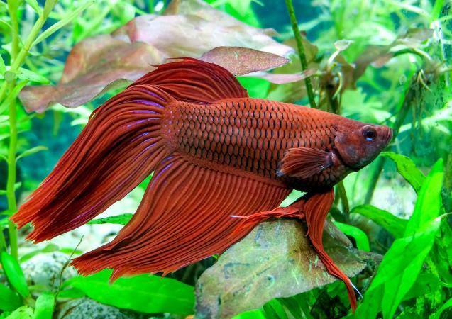 Betta peces nadando en el agua