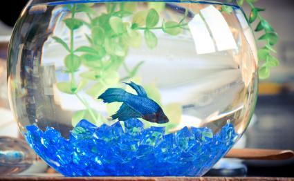 pescado betta azul en un tazón