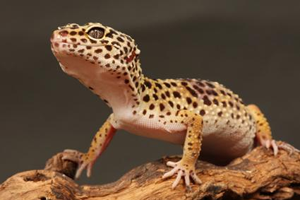 lagarto leopardo en la madera