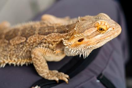dragón barbudo marrón