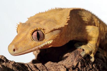 gecko de cresta