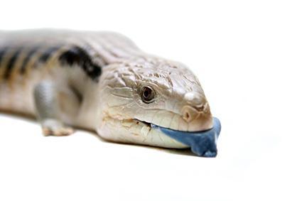La taliqua de lengua azul