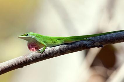 el verde anole en una rama