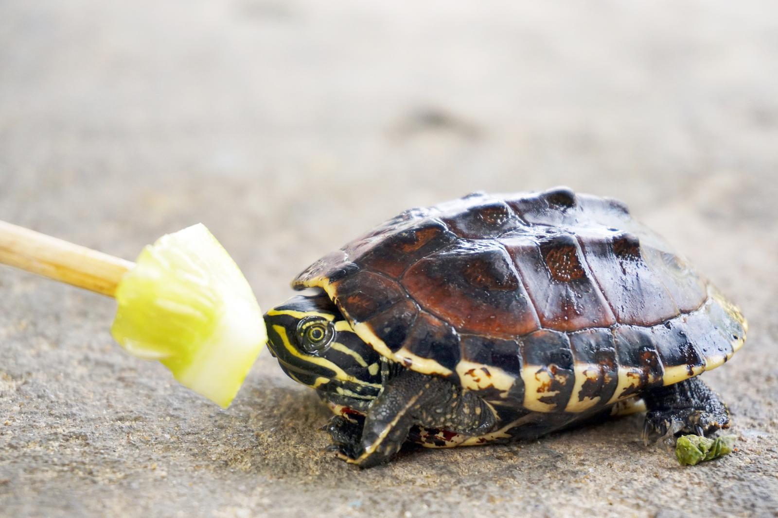 Tortuga bebé comiendo pepino