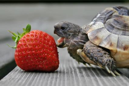 tortuga comiendo una fresa