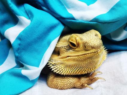 Dragón barbudo debajo de una manta azul