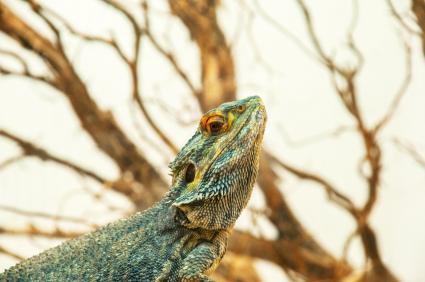 Dragón barbudo verde