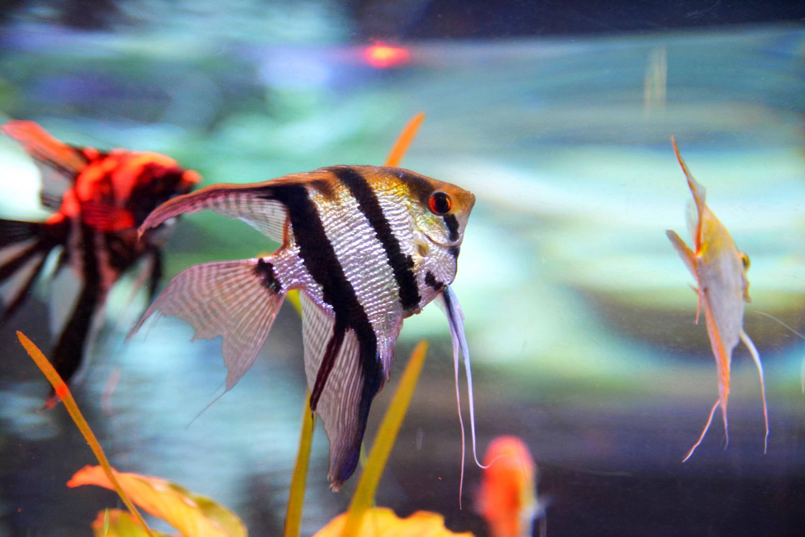 Peces ángel en un acuario