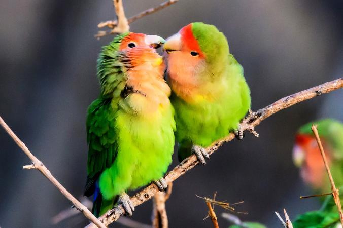 pájaros de amor coloridos