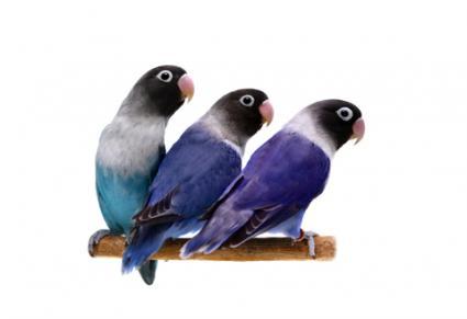 Tres pájaros de amor sanos