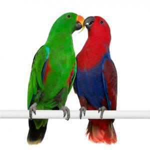 loros eclectus de colores