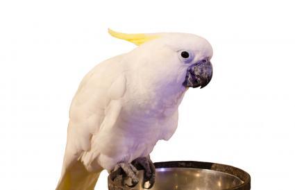 cacatúa blanca