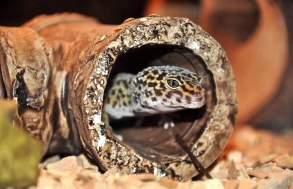 Gecko leopardo dentro del tanque