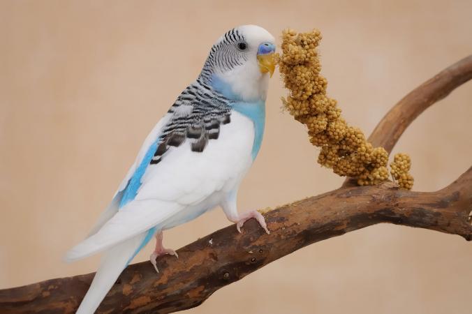 periquito en rama comiendo mijo