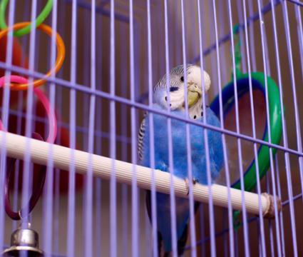 periquito en jaula con juguetes