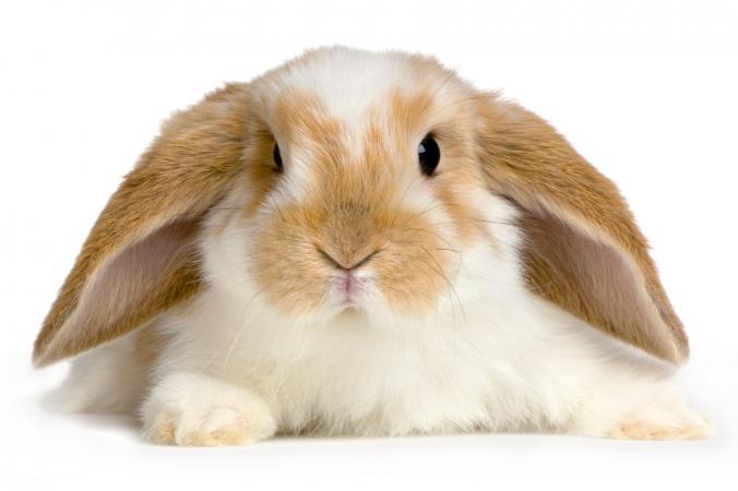 Lop conejo con orejas largas