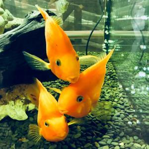 Pez dorado en acuario