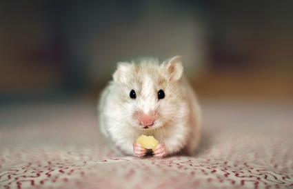 Hámster comiendo queso