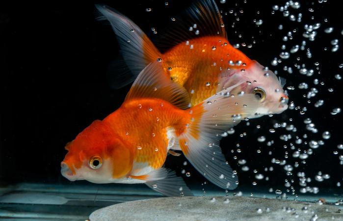Dos peces dorados