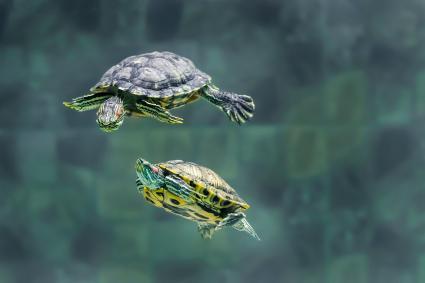 Dos tortugas nadando