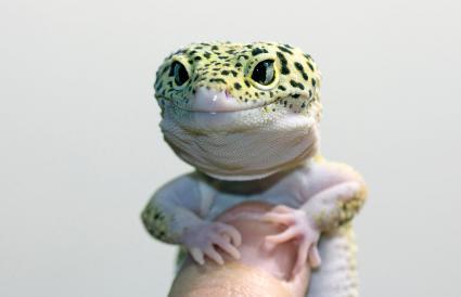 Gecko en una mano humana