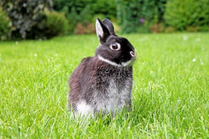 conejo enano negro de Holanda