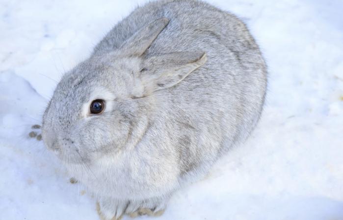 Conejo chinchilla gris plateada