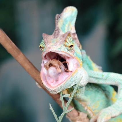 Camaleón masticando un críquet