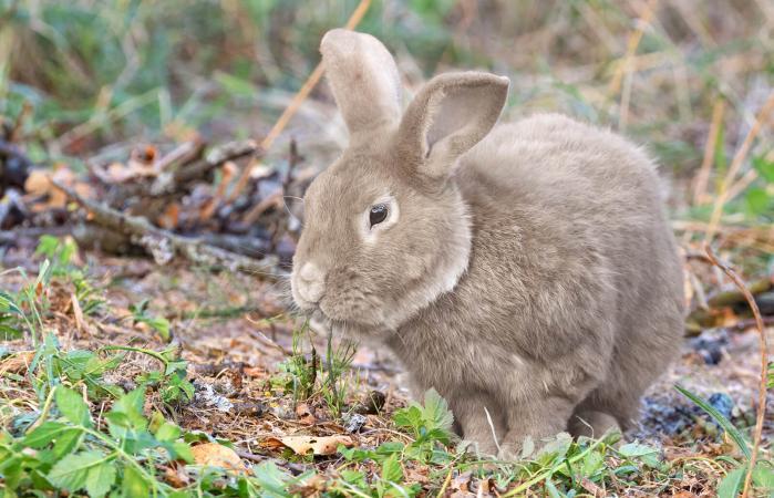 Conejo gigante comiendo