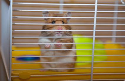 Hamster en su jaula