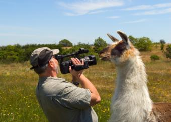 Llama checking out a videographer.