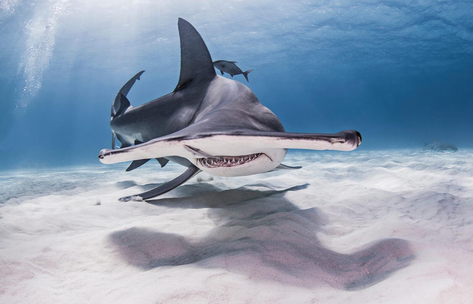 Tiburón martillo nadando en el mar