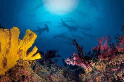 Varios tiburón martillo nadando cerca de arrecifes de coral