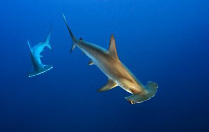 Dos tiburones, un adulto y una cria, nadan lado a lado